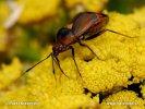 Ploštice (Deraeocoris ruber)