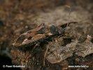 Ploštička obecná (Rhyparochromus vulgaris)