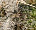 Pokoutník tmavý (Tegenaria atrica)