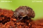 Roháček (Aesalus scarabaeoides)