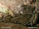 Saranče modrokřídlá (Oedipoda caerulescens)