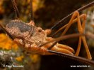 Sekáč (Opilionida)