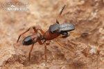 Skákavka mravenčí (Myrmarachne formicaria)