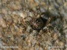 Skákavka okenní (Sitticus pubescens)