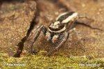 Skákavka podkorní (Pseudicius encarpatus)