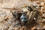 Skákavka rudopásá (Philaeus chrysops)