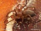 Skálovka pýřitá (Drassodes pubescens)
