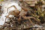 Skálovka žlutavá (Drassodes lapidosus)