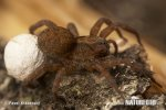 Slíďák dutinkový (Trochosa robusta)