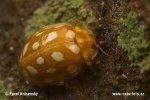 Slunéčko (Halyzia sedecimguttata)