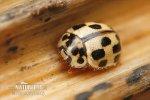 Slunéčko čtrnáctitečné (Propylea quatuordecimpunctata)