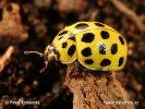 Slunéčko skvrnité (Psyllobora vigintiduopunctata)