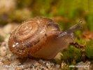 Srstnatka chlupatá (Trochulus hispidus)