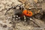 Ostatní pavouci