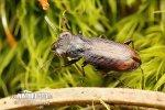 Střevlíček (Notiophilus biguttatus)