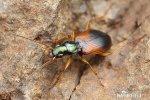 Střevlíček (Anchomenus dorsalis)