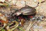 Střevlík měděný (Carabus cancellatus)