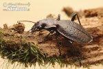 Střevlík nepravidelný (Carabus irregularis)