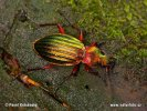 Střevlík zlatolesklý (Carabus auronitens)