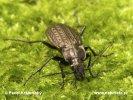 Střevlík zrnitý (Carabus granulatus)