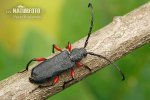 Tesařík (Rhopalopus femoratus)