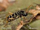 Tesařík dubový (Plagionotus arcuatus)