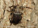 Tesařík piluna (Prionus coriarius)