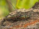 Tesařík pižmový (Aromia moschata)