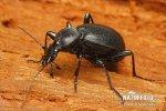 Úzkoštítník nosatý (Cychrus caraboides)