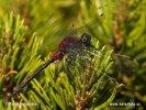 Vážka čárkovaná (Leucorrhinia dubia)