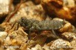 Vážka - larva (Larva Sp.)