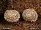Vrásenka okrouhlá (Discus rotundatus)