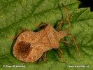 Vroubenka smrdutá (Coreus marginatus)