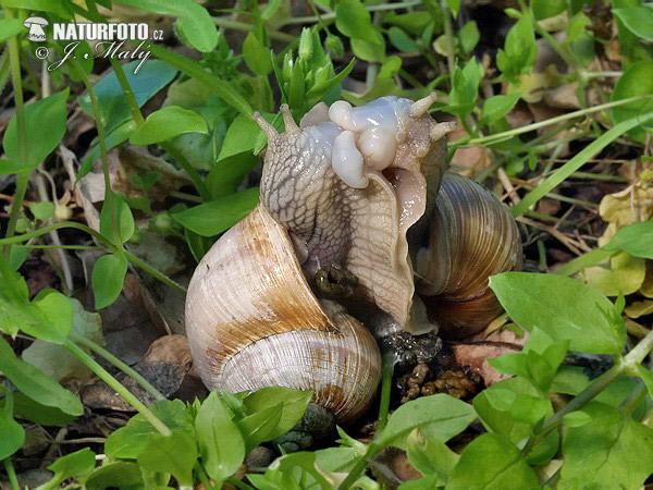 Hlemýžď zahradní (Helix pomatia)