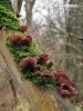 (Auricularia auricula-judae)