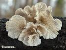 (Plicaturopsis crispa)