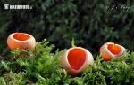 (Sarcoscypha austriaca var. lutea)