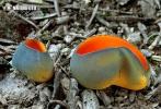 (Caloscypha fulgens)