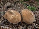 (Lycoperdon umbrinum)