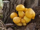 (Gymnopilus junonius)