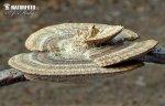 (Daedaleopsis confragosa)