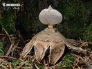 (Geastrum pectinatum)