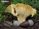 (Cantharellus ilicis)