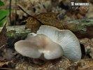 (Pleurotus pulmonarius)