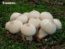(Lycoperdon perlatum)