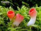 (Sarcoscypha austriaca)