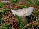 (Rhodocollybia butyracea f. asema)