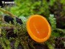 (Sarcoscypha coccinea var. aurantiaca)