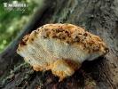 anýzovník vonný (Gloeophyllum odoratum)