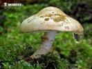 bedľovník orosený (Chamaemyces fracidus)